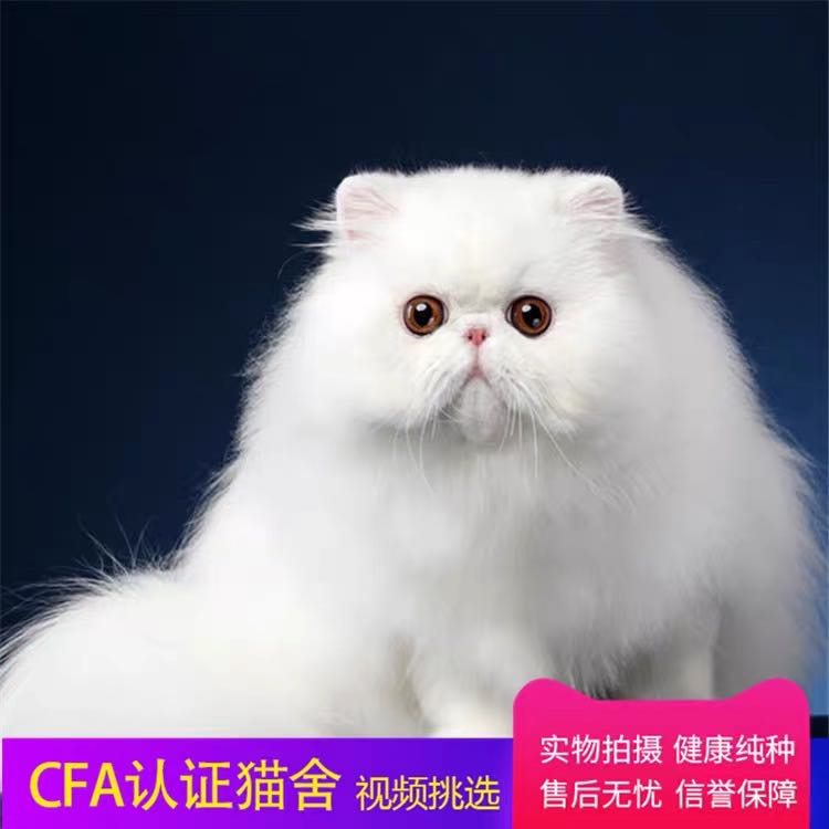 CFA注册猫舍 纯种波斯猫长毛猫活体