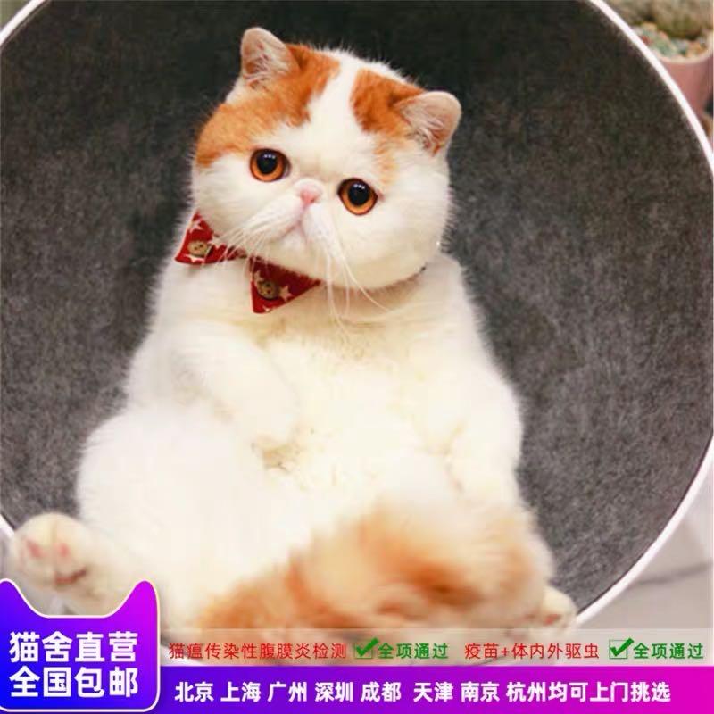 CFA注册猫舍 纯种异国短毛猫加菲猫幼猫活体 可支持上门
