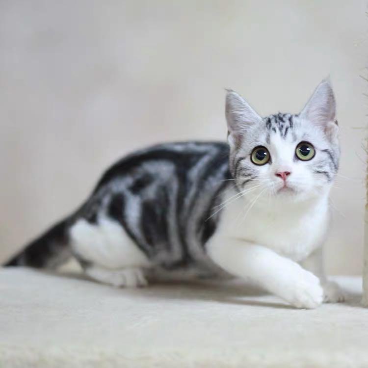 CFA注册猫舍 美国短毛猫美短活体宠物猫 可上门挑选