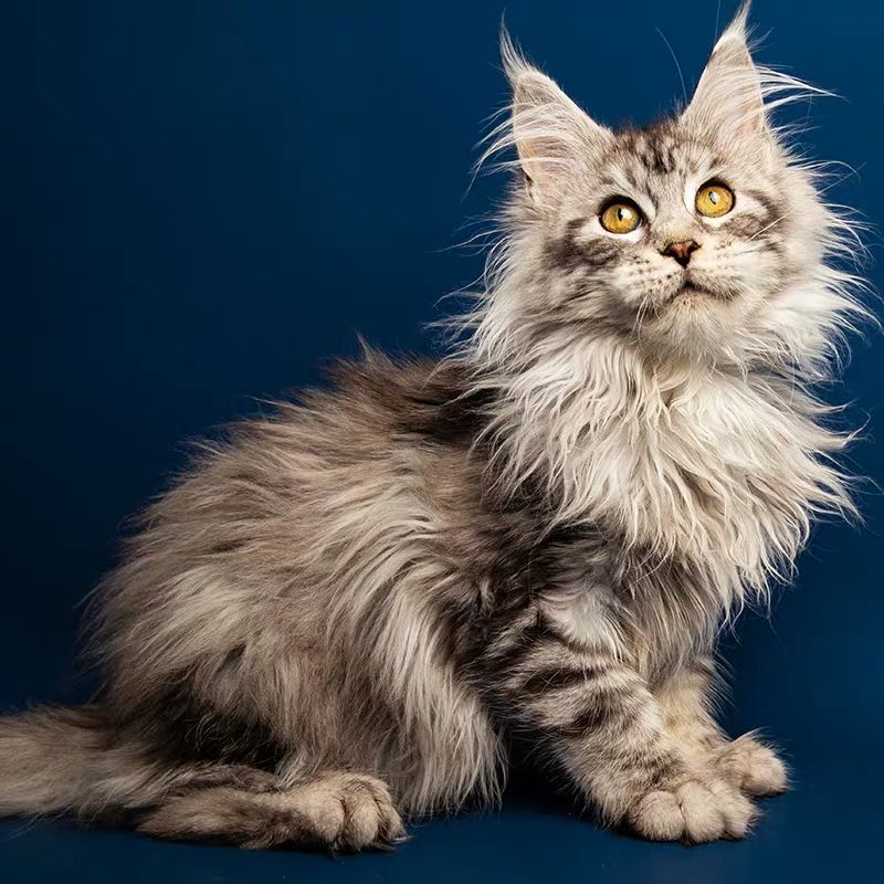 CFA注册猫舍 赛级缅因猫纯种银虎斑活体幼猫