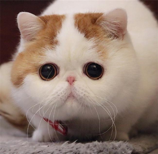 CFA注册猫舍 纯种加菲活体幼崽 可上门挑选