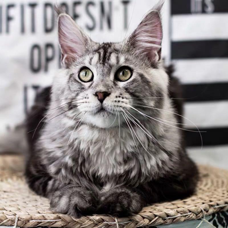 CFA注册猫舍 缅因库恩猫巨型幼猫活体 可上门挑选