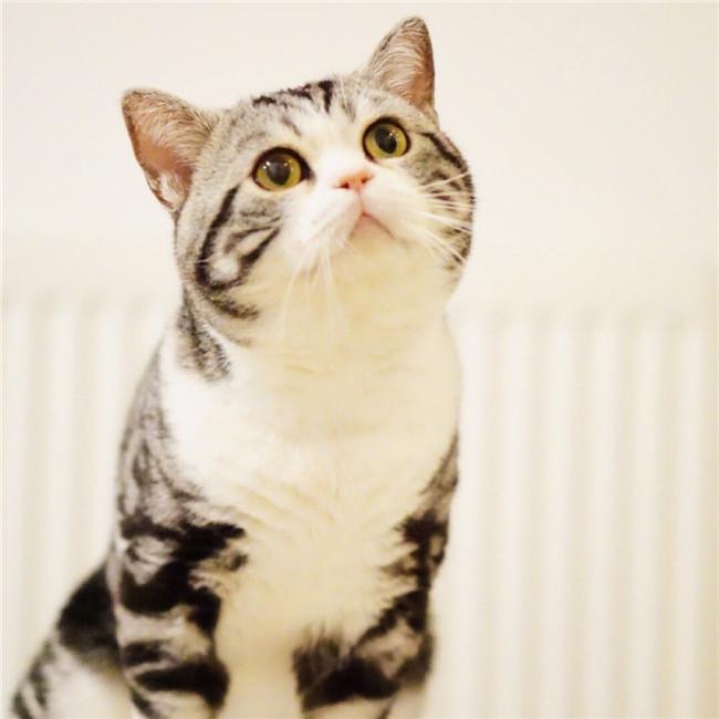 CFA注册猫舍纯种美短加白起司 虎斑幼猫活体 可上门挑选