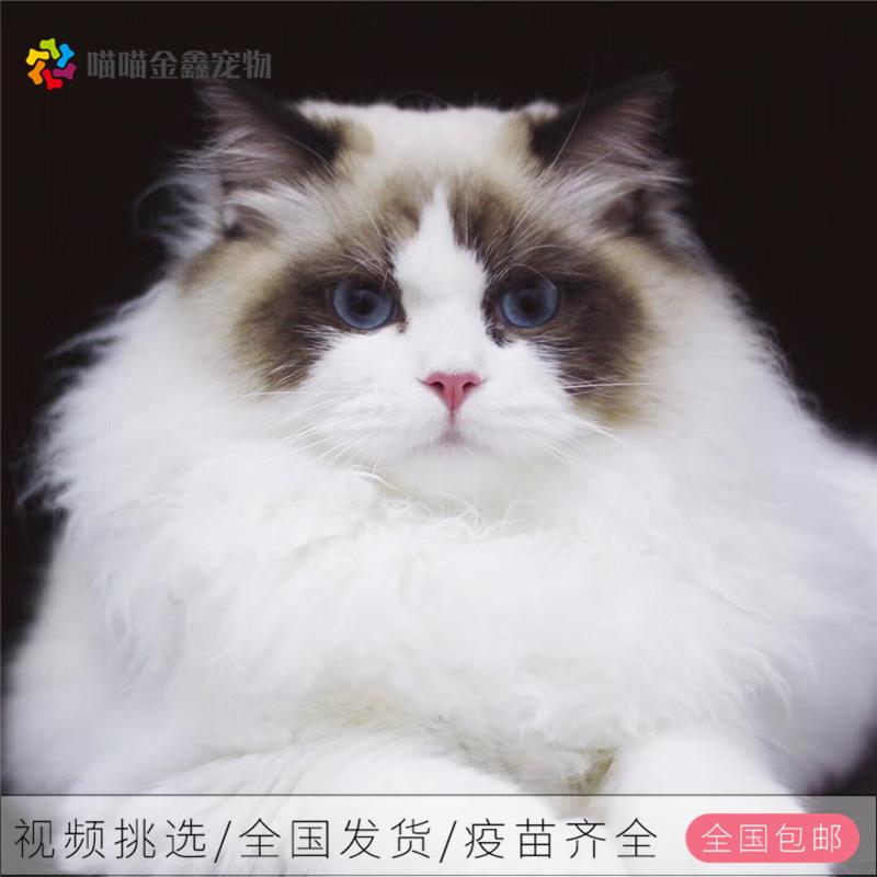 全国连锁正规猫舍纯种布偶猫支持上门挑选