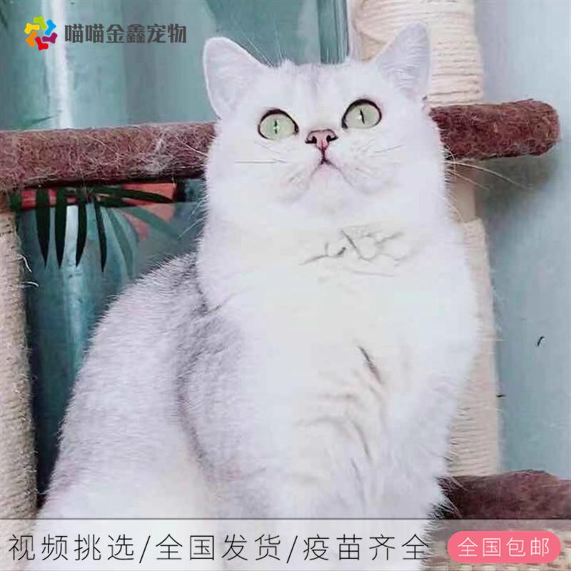 英短蓝猫银渐层蓝白金渐层支持上门挑选包纯种包健康