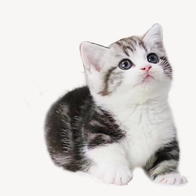 CFA认证注册猫舍 美国短毛猫