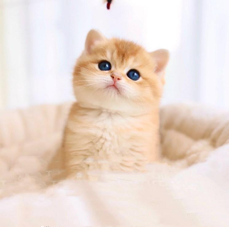 CFA认证注册猫舍 英短短毛猫