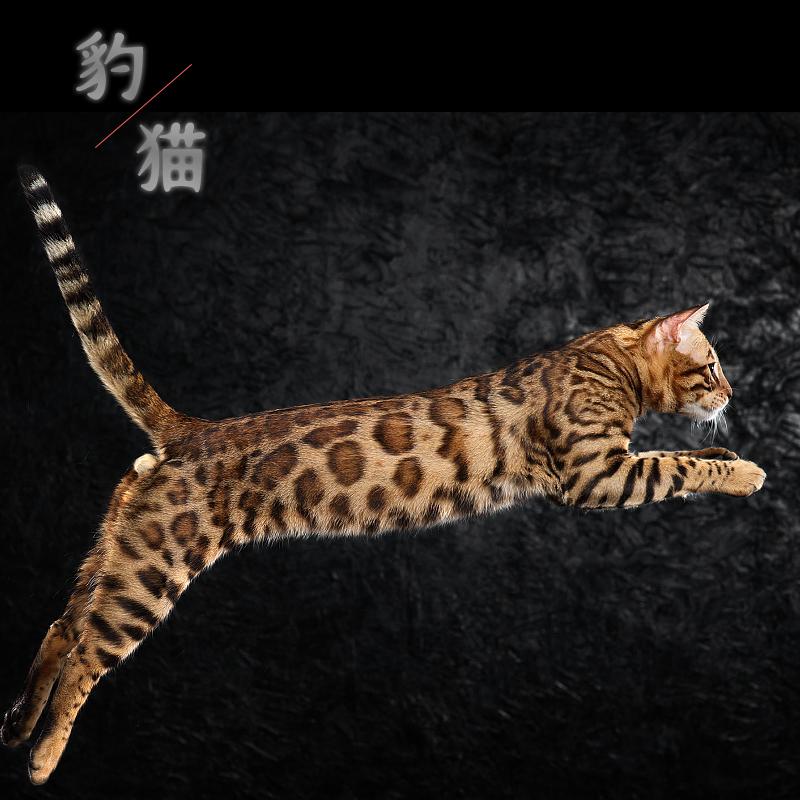 CFA认证注册猫舍 孟加拉豹猫