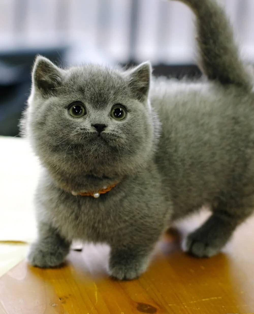 CFA认证注册猫舍 英短蓝猫