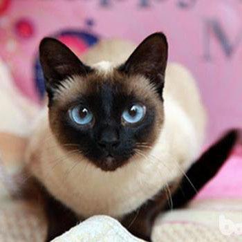 CFA认证注册猫舍 纯种泰国暹罗猫
