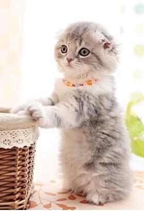 CFA认证注册猫舍苏格兰折耳猫