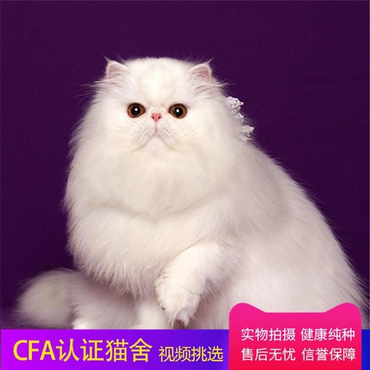 高赛级波斯 cfa注册猫舍