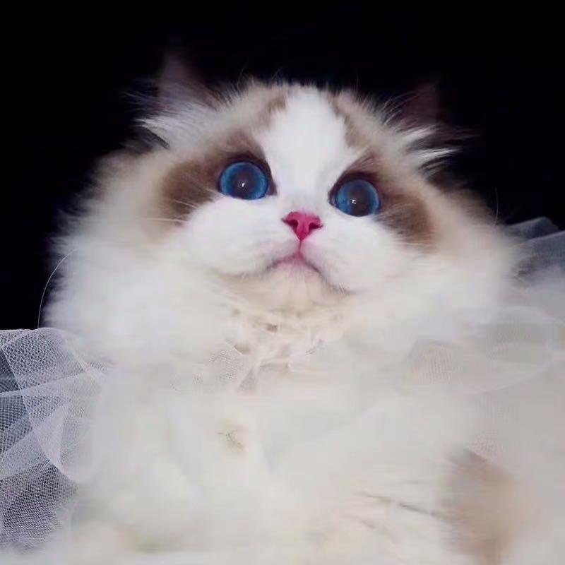 小仙女布偶猫