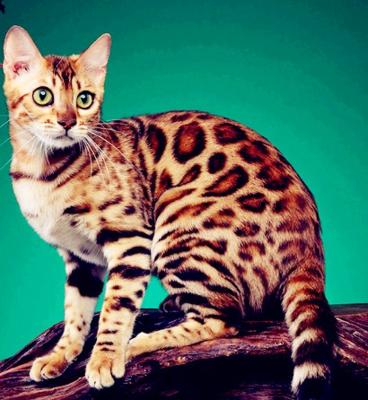 孟加拉豹猫 纯种豹猫幼猫出售 网红豹猫小猫出售