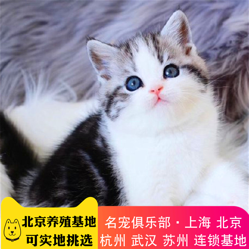 美国短毛猫 纯种美短猫 美短多少钱 美短小猫 网红美短猫