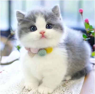 最大英短猫舍、专业繁殖英国短毛猫、官方推荐、五星好评猫舍