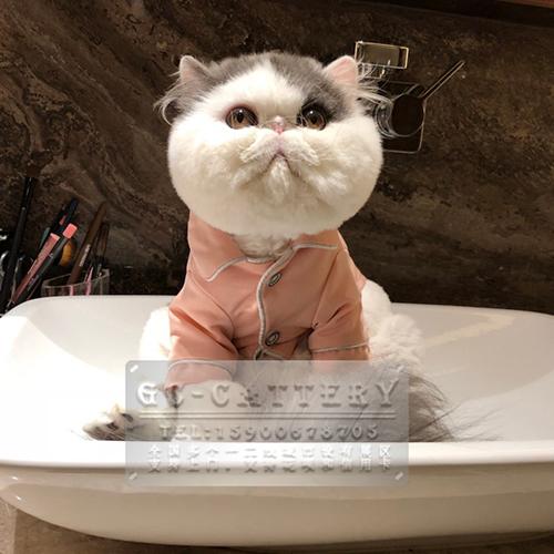 CFA猫舍出售纯种精品波斯猫,多只可选可上门