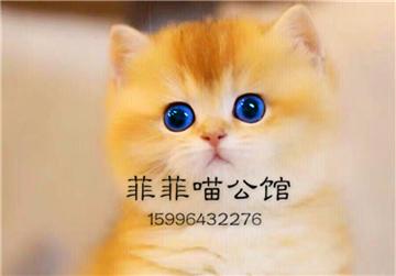 ▊官网推荐已认证▊精品英短出售▊CAF认证▊质量第一▊