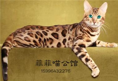 孟加拉豹猫活体纯种金豹银豹雪豹活物玫瑰空心花纹豹猫宠物猫
