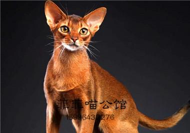 阿比西尼亚猫纯种幼猫索马里猫猫咪活物宠物埃及长毛小猫活体