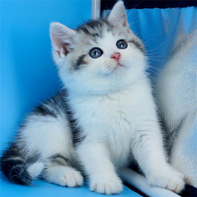 本地猫舍兽医世家出售纯种健康美国短毛猫起司猫