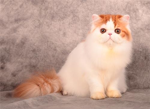 本地猫舍兽医世家出售纯种健康波斯猫 可耐的很
