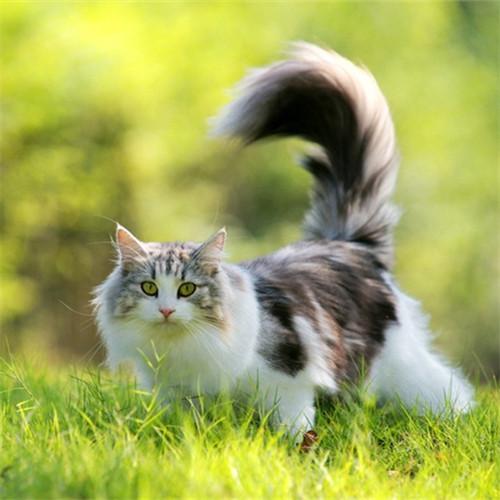 本地猫舍兽医世家出售纯种健康缅因猫