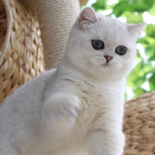 本地猫舍兽医世家出售纯种健康英短猫咪小仙女
