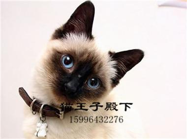 泰国暹罗猫活体幼猫挖煤猫家养幼猫蓝眼睛重点色暹罗宠物猫咪