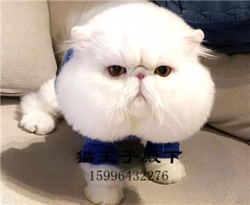 赛级加菲猫咪活物宠物猫活体可爱小型异国短毛猫加菲