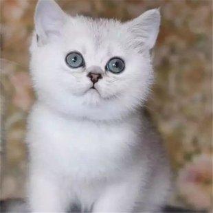 正规猫舍繁育直销纯种英国短毛猫,英短猫幼猫,英短猫活体图片