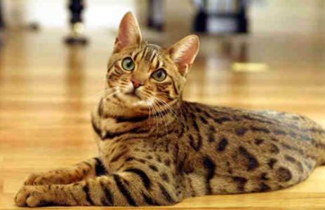 豹猫 纯种孟加拉豹猫多少钱 网红孟加拉豹猫小猫出售 置顶
