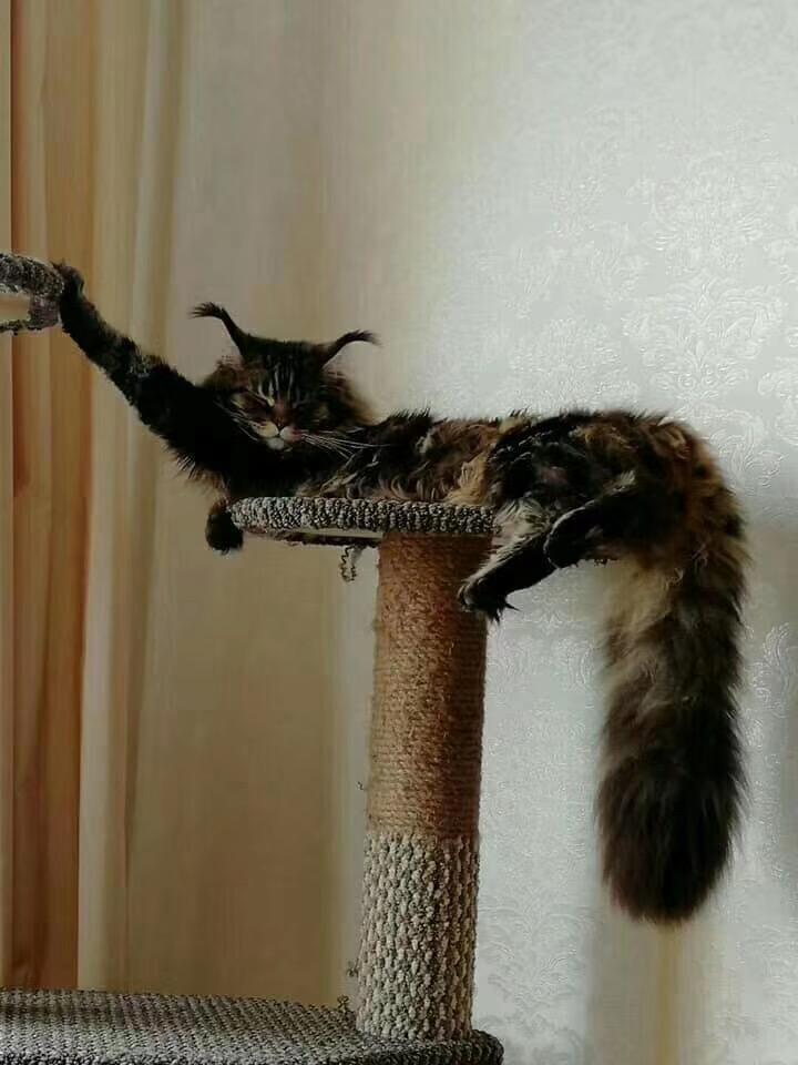 CFA注册正规猫舍缅因猫大型猫 包纯种包健康