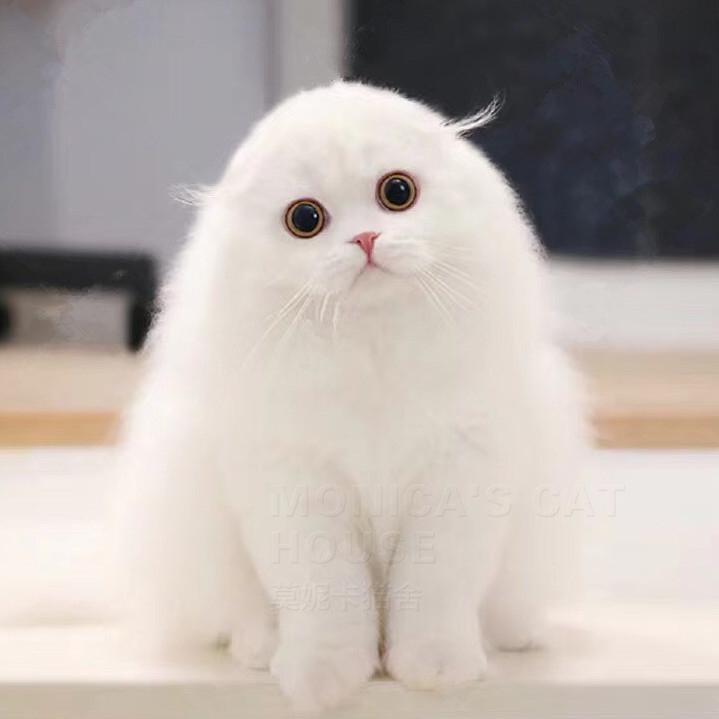 CFA注册正规猫舍可爱苏格兰折耳猫包纯种包健康
