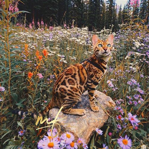猫舍出售精品纯种孟加拉豹猫 头版优秀体态好花纹清晰