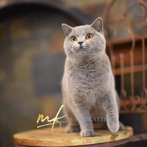 CFA认证猫舍出售纯种英短蓝猫包子脸双血统可上门