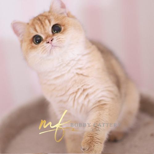 出售纯种宠物猫英国短毛猫包子脸金渐层支持上门