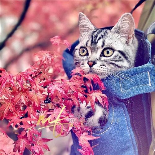 CFA猫舍出售纯种美短花纹清晰品相甜美活泼可爱