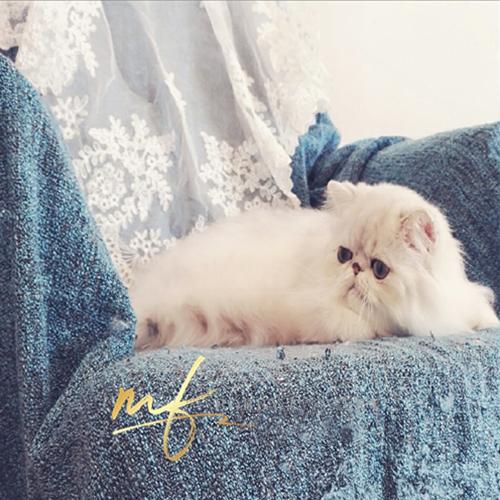 CFA TiCA双注册猫舍出售纯种金吉拉 健康可爱支持上门