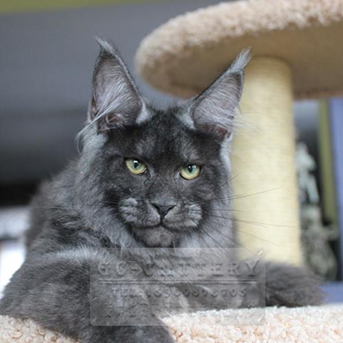 WCF认证猫舍出售纯种缅因猫威武霸气可上门挑选