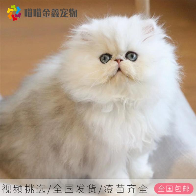 CFA认证资质波斯猫可上门挑选签订购猫协议