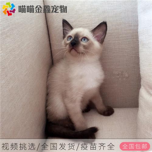 全国连锁正规猫舍纯种暹罗猫可以上门挑选