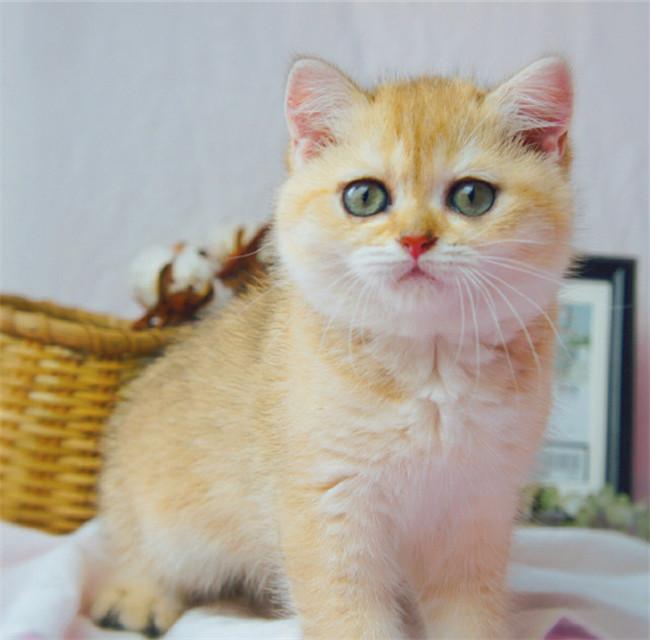 CFA注册猫舍纯种英短金渐层幼猫活体 可上门挑选