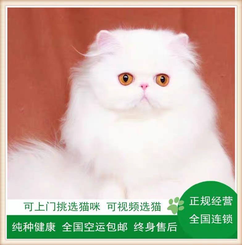 CFA注册猫舍 纯种纯白波斯活体 可上门挑选
