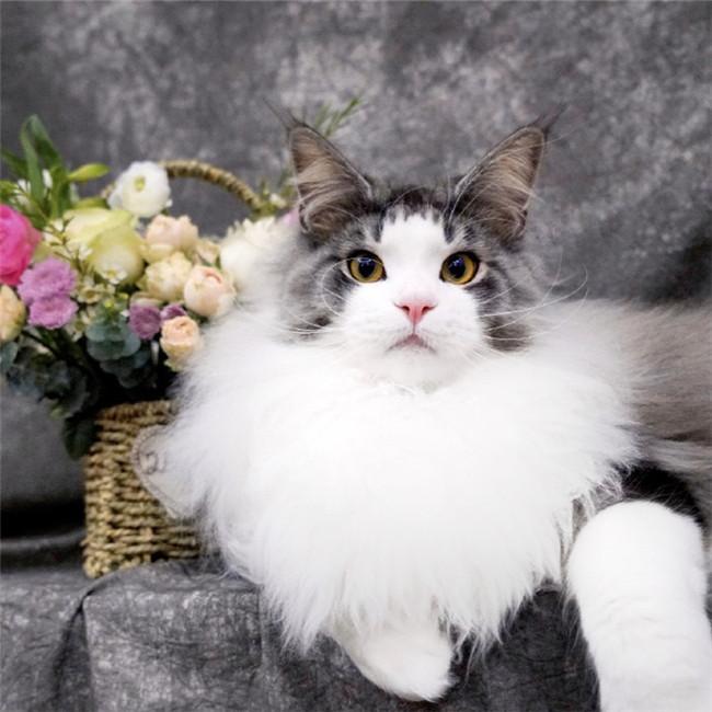 CFA注册猫舍 缅因猫纯种活体幼猫 可上门挑选