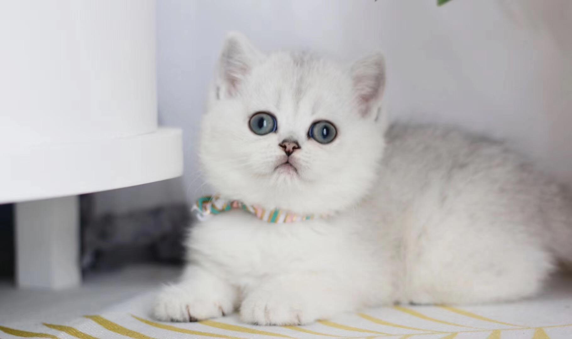银渐层 纯种英短银渐层多少钱 网红英短银渐层小猫出售