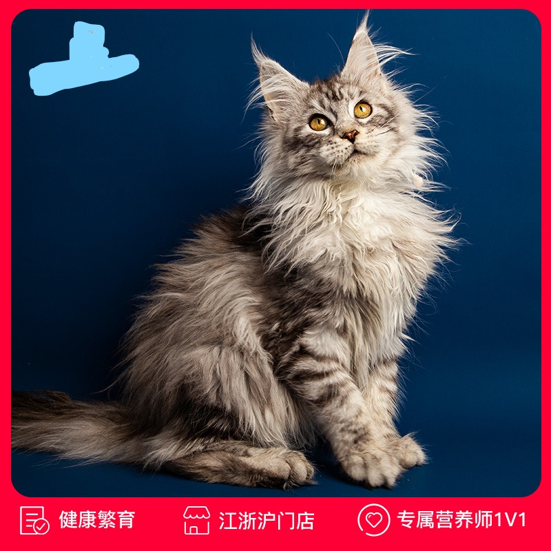 纯种缅因猫 包纯包健康全国发货 可上门看猫
