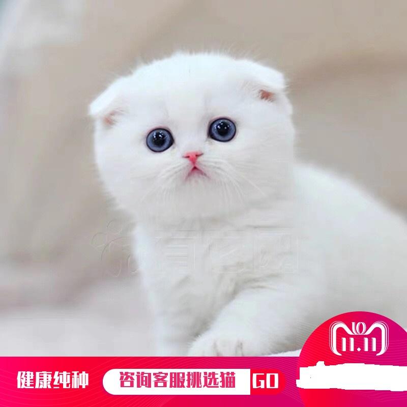 官方推荐猫舍全国签订协议包纯种健康折耳猫包养活