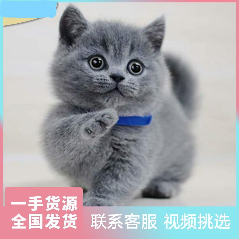 北京最大蓝猫猫舍、官方推荐猫舍、五星好评猫舍、终身质保