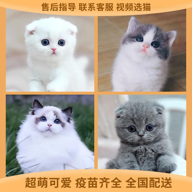 正规猫舍繁育直销纯种英国短毛猫,英短猫幼猫,英短猫活体